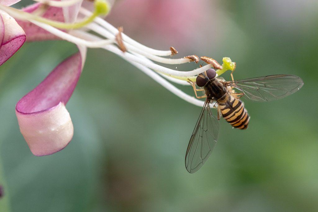 Makro, Kleines ganz groß: Wildbiene